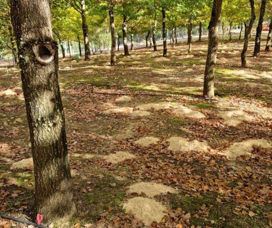 Buy Stonebarn Truffle Trees